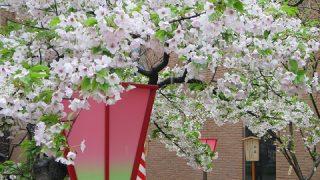 桜の名所【大阪造幣局】に行ってみた!(4月17日まで)「桜の宮駅」下車で大阪花見文化が満喫できる